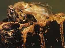 蜜蜂的成蟲